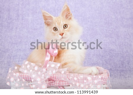Red shaded silver Maine Coon kitten on lilac background with pink ribbons and gift box