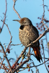 Red Shafted Female Northern Flicker