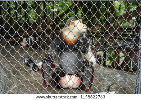 """Red-shanked douc langur in the cage. It is a species of Old World monkey, among the most colourful of all primates. It is sometimes called the """"costumed ape"""" for its extravagant appearance. #1158822763"""