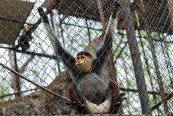 Red-shanked douc,monkey,animal, wildlife.