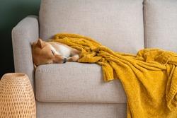 Red Shiba inu dog sleeping sweetly on the sofa with a cozy soft blanket. Modern Scandinavian interior, copy space