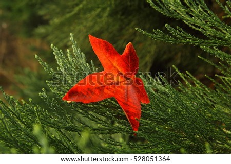 red shining leave  leaf of...