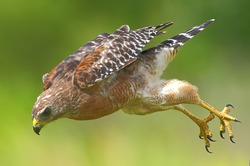 Red shouldered Hawk (Buteo lineatus) Flying fast down toward its prey - yellow talons behind and open - serious determined look on face, blurred green and yellow background, great feather detail,