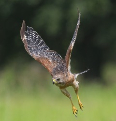 red shouldered hawk (Buteo lineatus) flying towards prey wings up curled inward - blurred background