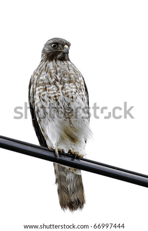 Red Shouldered Hawk -buteo lineatus- isolated on white