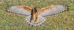 Red shouldered Hawk (Buteo lineatus) landing on prey, wings extended, great detail, perfect lighting
