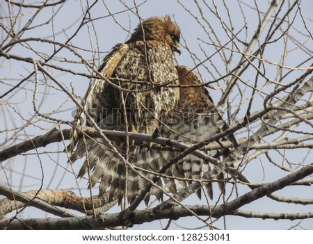 Red-shouldered hawk (Buteo lineatus) perched in a deciduous tree from which to observe prey in the area. Sacramento National Wildlife Refuge, Northern California.