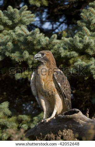 Red Shouldered Hawk (Buteo lineatus) perched on old log.