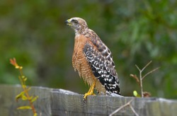 Red-shouldered Hawk (Buteo lineatus) standing on wood fence, Florida, USA while looking away with mouth open, high detail, talons in view