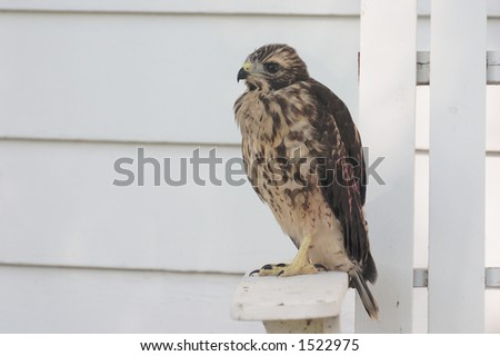 Red-Shouldered Hawk Fledgling taking a break while learning to fly