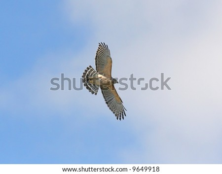 Red-shouldered Hawk flying over the Florida Everglades