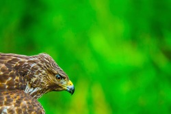 Red Shouldered Hawk in a background of green focuses on its prey. This hawk is concentrating on its prey as I pass by for the photo.