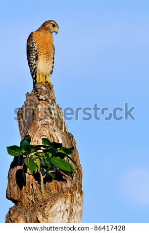 red-shouldered hawk perched on tree snag in florida wetland, against late afternoon blue sky - stock photo