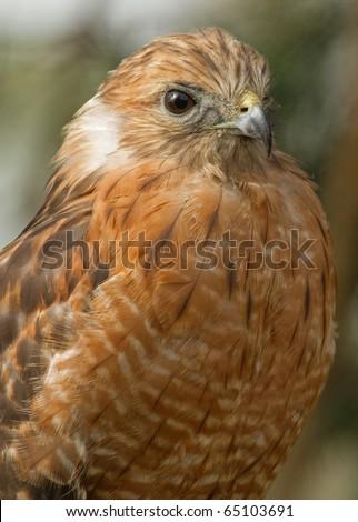 Red Shouldered Hawk  Profile