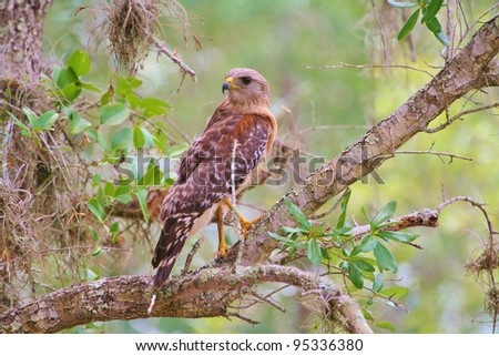 Red Shouldered Hawk watches overs the swamp like a Prince surveying his kingdom.