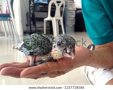 Red shouldered macaw (Diopsittaca nobilis) or hahn macaw or noble macaw parrot chick on the hand.
