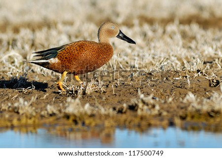 Red Shoveler (Anas platalea) in a small lake. Patagonia, Argentina, South America.