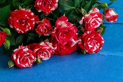 red shrub roses with white flecks on a blue background, close-up with a blurred background. as a valentine day gift, as a decoration
