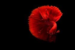 Red Siamese betta fish half moon movement in black background