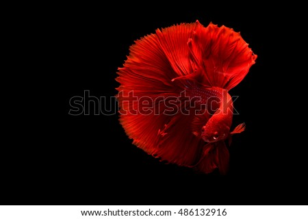 Red Siamese betta fish half moon movement in black background