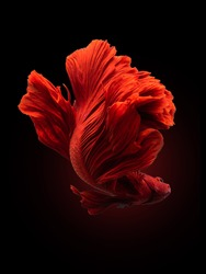 Red siamese fighting fish, betta fish isolated on black background
