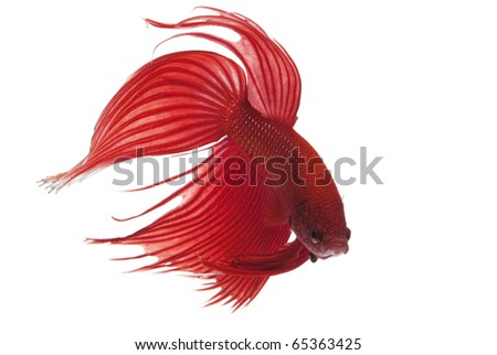 Red Siamese fighting fish (Betta splendens) isolated on white background. - stock photo