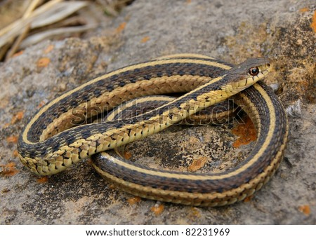 Red-sided Garter Snake, Thamnophis sirtalis parietalis