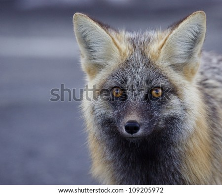 Red / Silver Fox (rare Cascade color phase), detailed portrait / head shot, Mount Rainier National Park, Washington; Pacific Northwest wildlife / animal / nature / outdoors / recreation