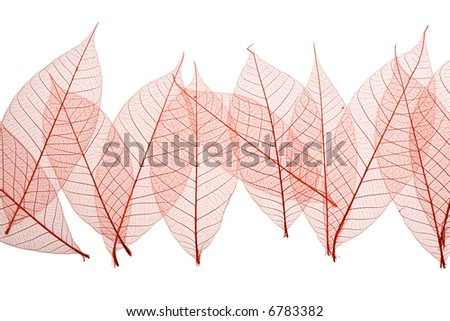 Red Skeleton Leaves on white background