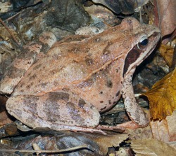 Red-skinned representative of the real Frog family (Banidae) little Asian Frog (Rana macrocnemis). It lives in forests, meadows, and riverbanks. Photographed in October in the Northern Caucasus.