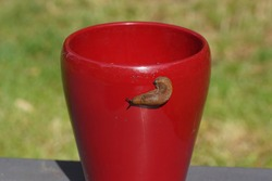 Red slug, large red slug, chocolate arion, European red slug (Arion rufus) or Spanish slug (Arion vulgaris). Family roundback slugs, roundback slugs (Arionidae). On a red flower pot. June