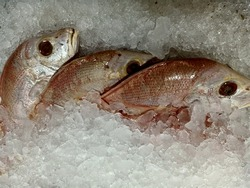 Red snapper or Lutjanus bitaeniatus, is a species of snapper found in Indonesia. This fish is found mainly in the East Indian Ocean. Adult fish inhabit deeper reef areas. They live solitary or in smal