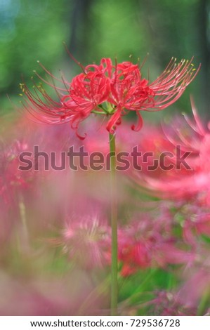 Red spider lilies #729536728