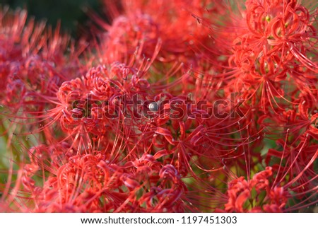 red spider lily #1197451303
