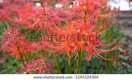 Red spider lily Lycoris radiata #1245324304