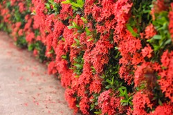 Red spike flower blooming or colorful Ixora coccinea hanging on green tree fence background
