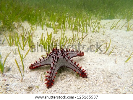 Red spiked Starfish on the sand underwater