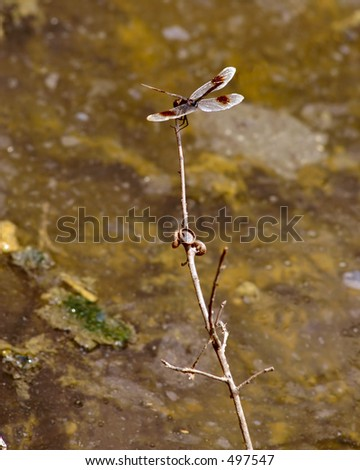 Red spotted Dragon fly