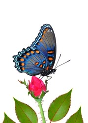 Red- spotted Purple Butterfly (Limenitis arthemis) on a rose bud.