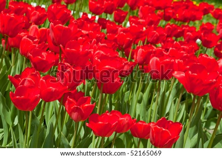 red spring tulips low angle