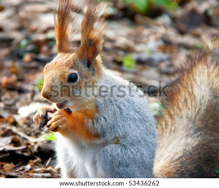 Red squirell with nut in hands