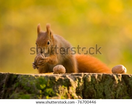 Red squirell with nut in her hands