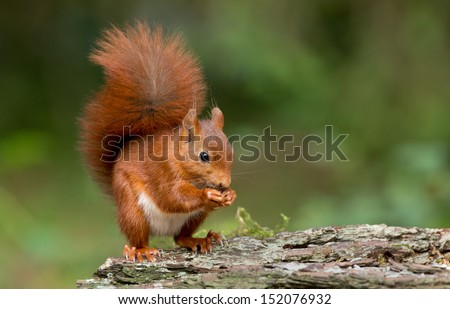 Red Squirrel #152076932