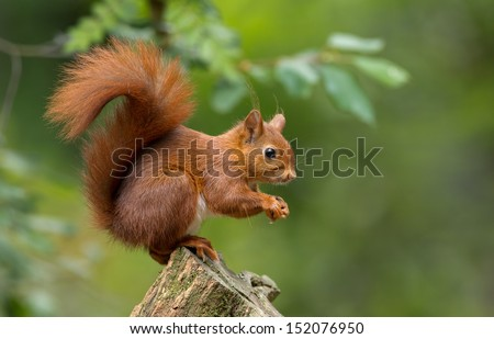 Red Squirrel #152076950