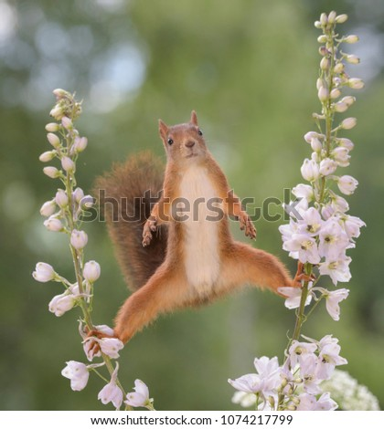 Red squirrel between Delphinium a perennial flower in split looking at the camera