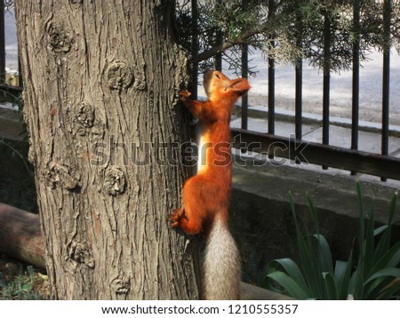 Red squirrel climbing or sitting on tree photo. Animal in nature.