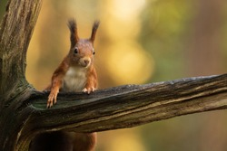 Red Squirrel climbing up in a tree
