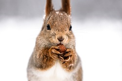red squirrel eating nut on blurred winter forest background, closeup view