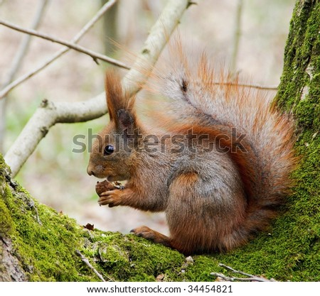 red squirrel eating nuts on hemp in the forest