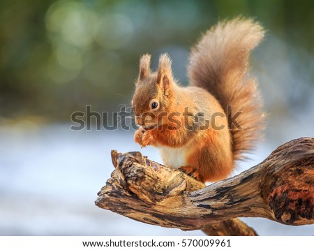 Red squirrel feeding in Winter, County of Northumberland, England #570009961